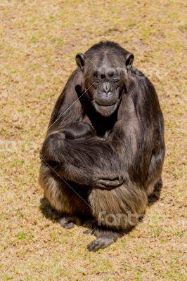 Chimp communication