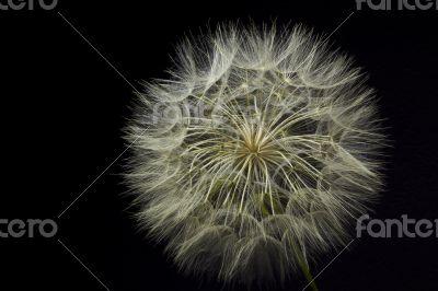 Giant Dandelion on Black