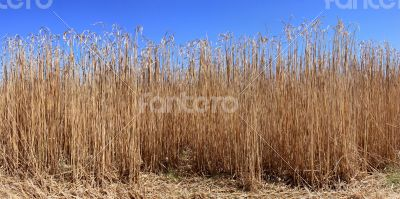 Culture of the reed