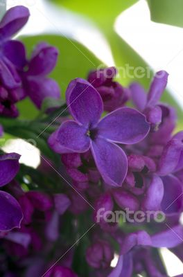 Blooming lilac flowers. Abstract background. Macro photo