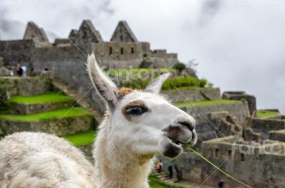 Llama in Machu Picchu