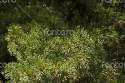 Green spruce branches with cones in the mountains of Bulgaria.