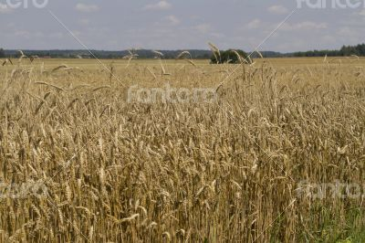 Field of ripe wheat at sunny summer day