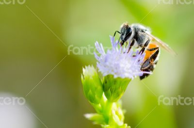 Small bee eating nectar on flower of Goat Weed