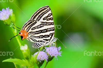 Club Silverline or Spindasis syama terana, white butterfly eatin