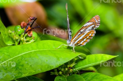 Common Sailor butterfly (Neptis hylas papaja)