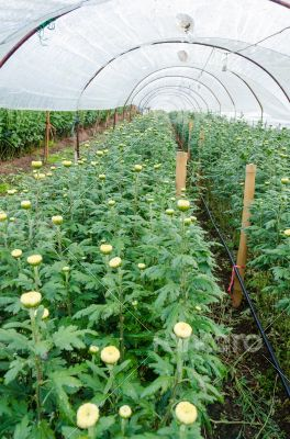 Inside greenhouse of Chrysanthemum flowers farms