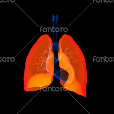 Human respiratory system lung red colored