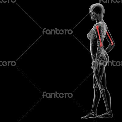 3d rendered illustration of the humerus bone