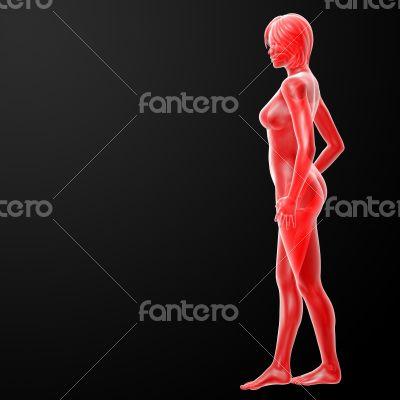 3d rendered illustration of the female