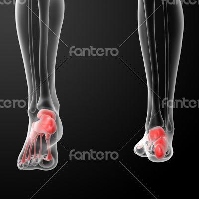 Human Skeletal  Feet