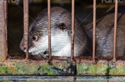 Otter in a cage