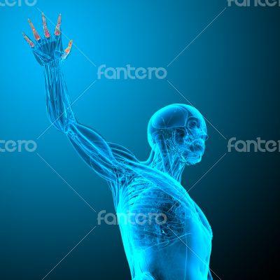 phalanges hand