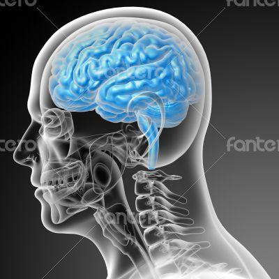 3d render medical illustration of the brain