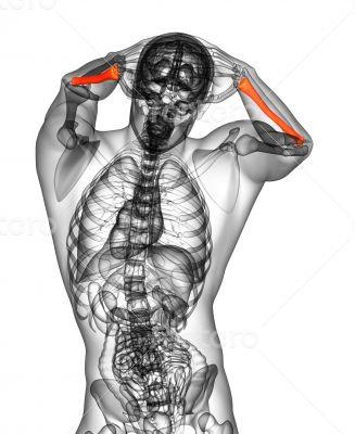 3d render medical illustration of the radius bone