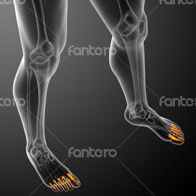 phalanges foot
