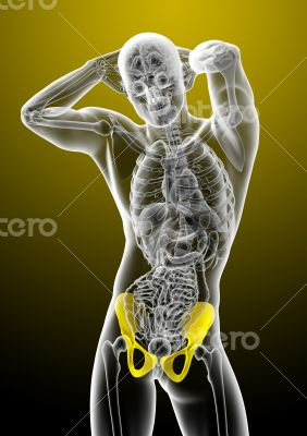 3d render medical illustration of the pelvis bone