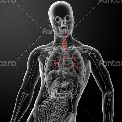 3d render lungs with visible bronchi