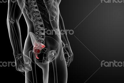 3d render illustration sacrum bone - close-up