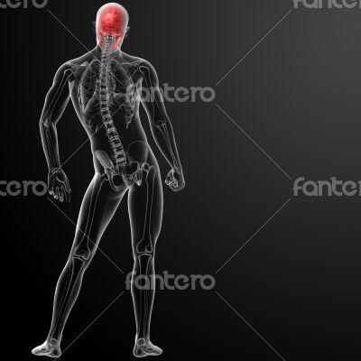 3d render human skull anatomy - back view