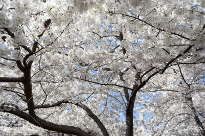 White floers during the Cherry Blossom festival