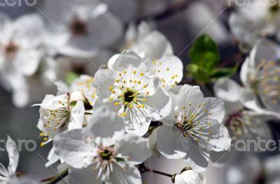 Cherry blossom closeup over natural background