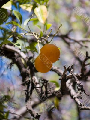 Couple on the old orange tree