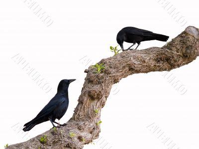 Ravens are having a dinner