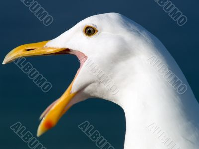 Screaming Seagull