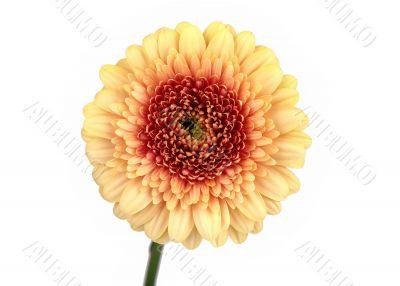 Yellow Gerbera, Daisy