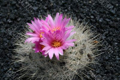 Blossoming cactus,
