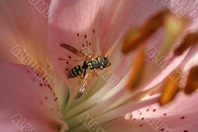 Macro of wasp on lily