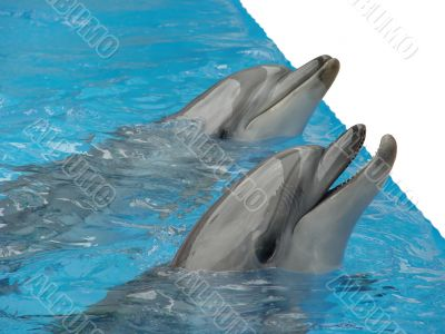 Pair dolphins. isolated