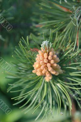 Pine Paw