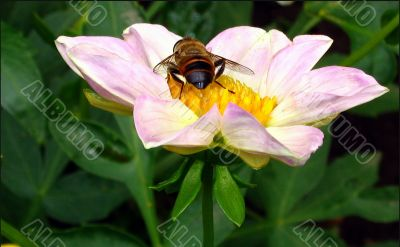 The hover-fly