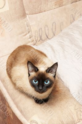 siamese cat, analogous color of background