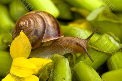 Snail and water lily