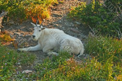 Mountain Goat resting in shade