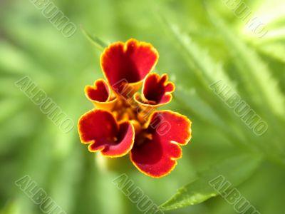 red flower, macro