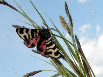 Butterfly on herb