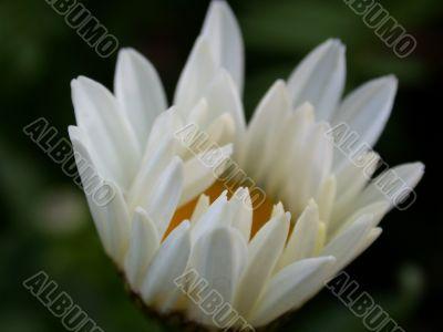 Daisywheel garden, awakening