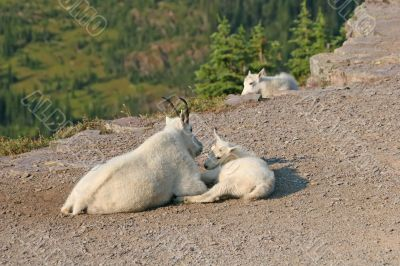 Mountain Goat with kids