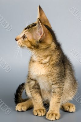Kitten in studio