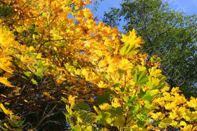 Foliage of an autumn maple