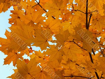 Autumn foliage of a maple