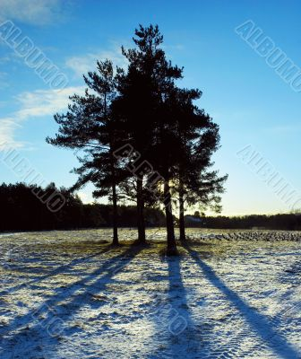 Group of pines on a glade in counter light