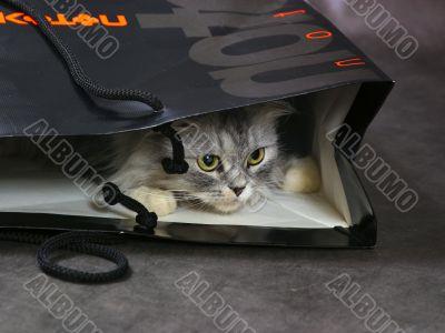 Kitten in a package