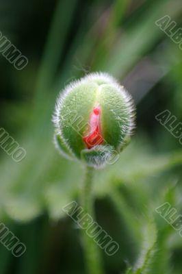 Bud Poppy