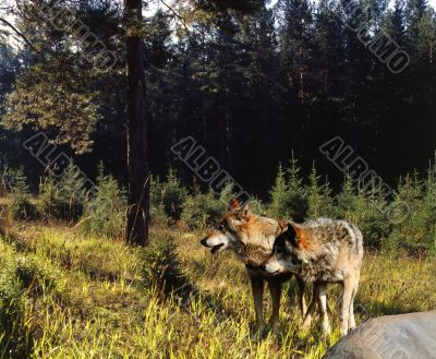 Wolfs in Wood