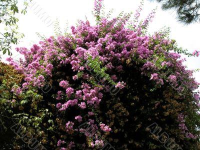 Bid rose flowering shrub